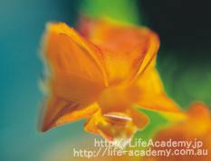 オレンジレショノルティア